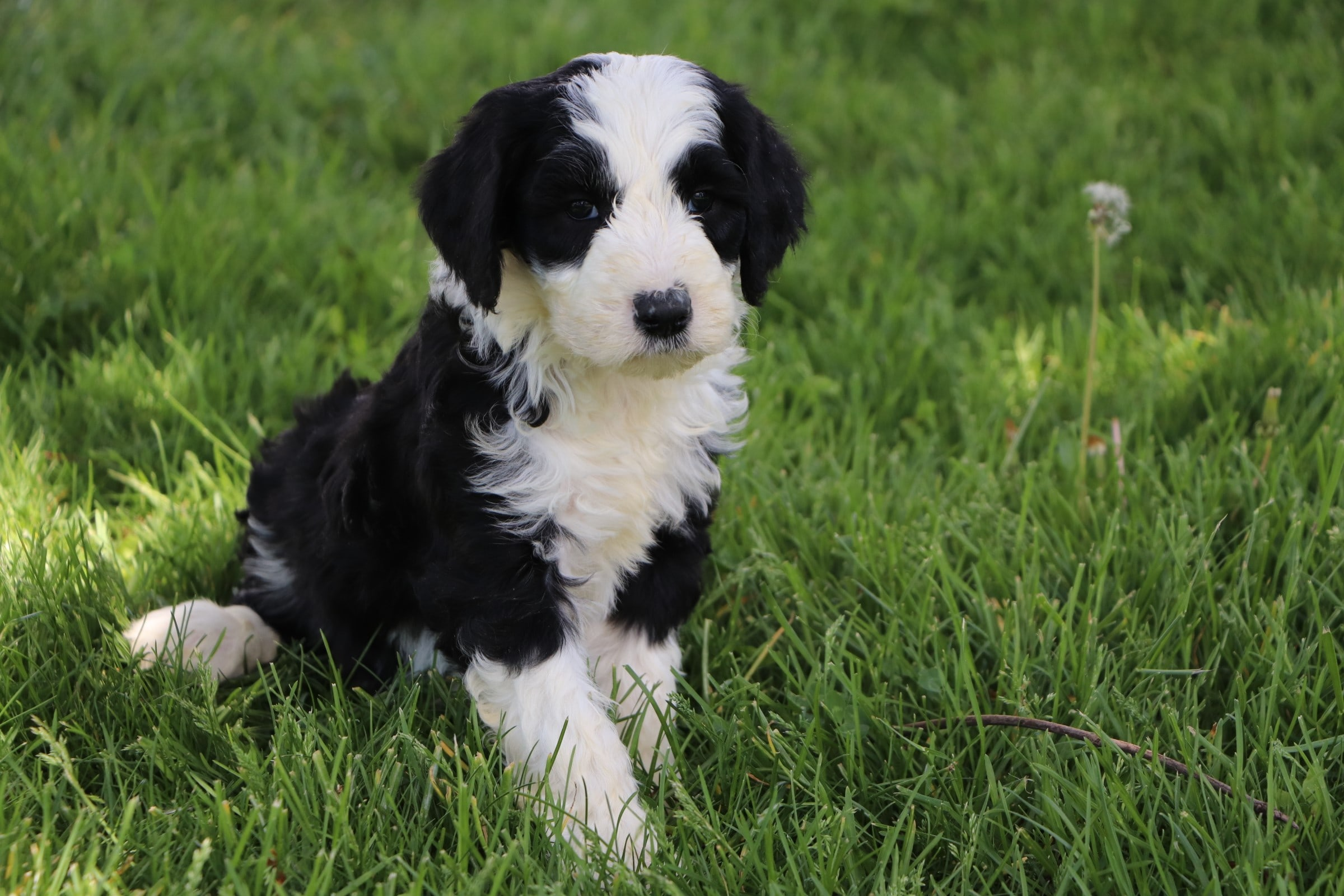 Lando Adorable Sheepadoodle Boy Puppy (3).jpg