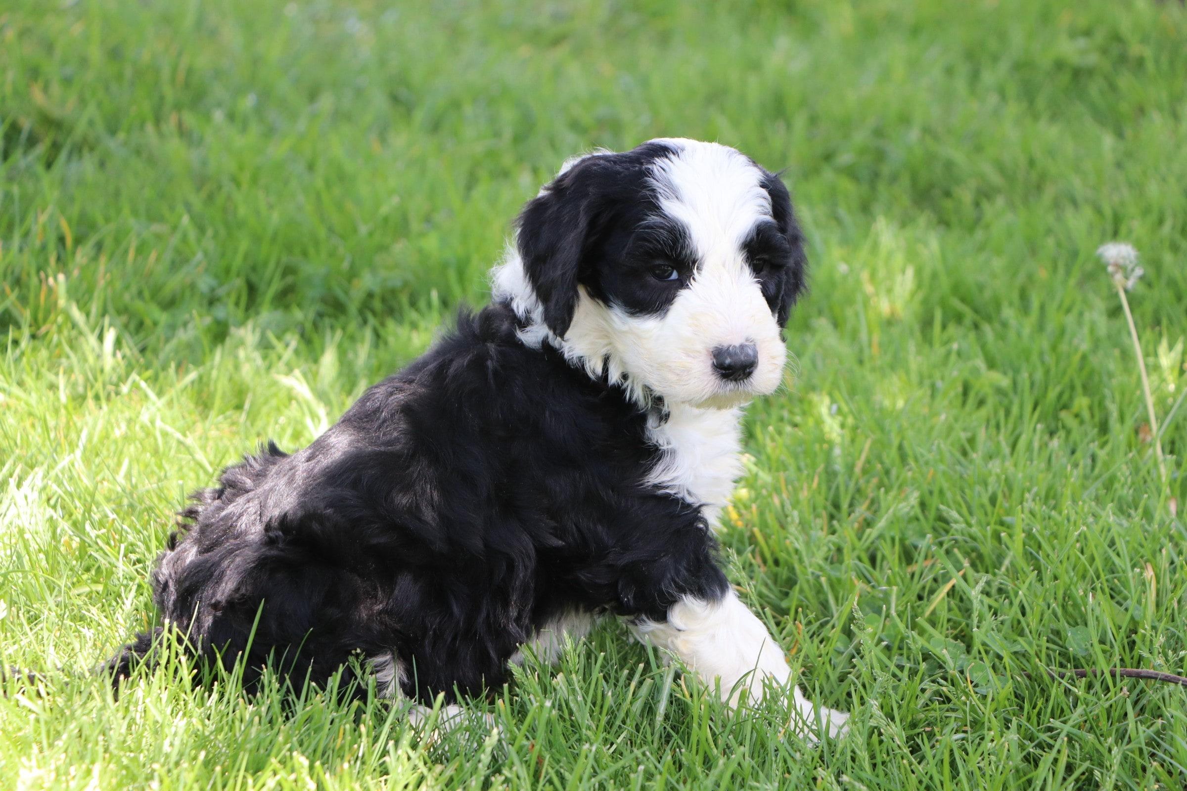 Lando Adorable Sheepadoodle Boy Puppy (4).jpg