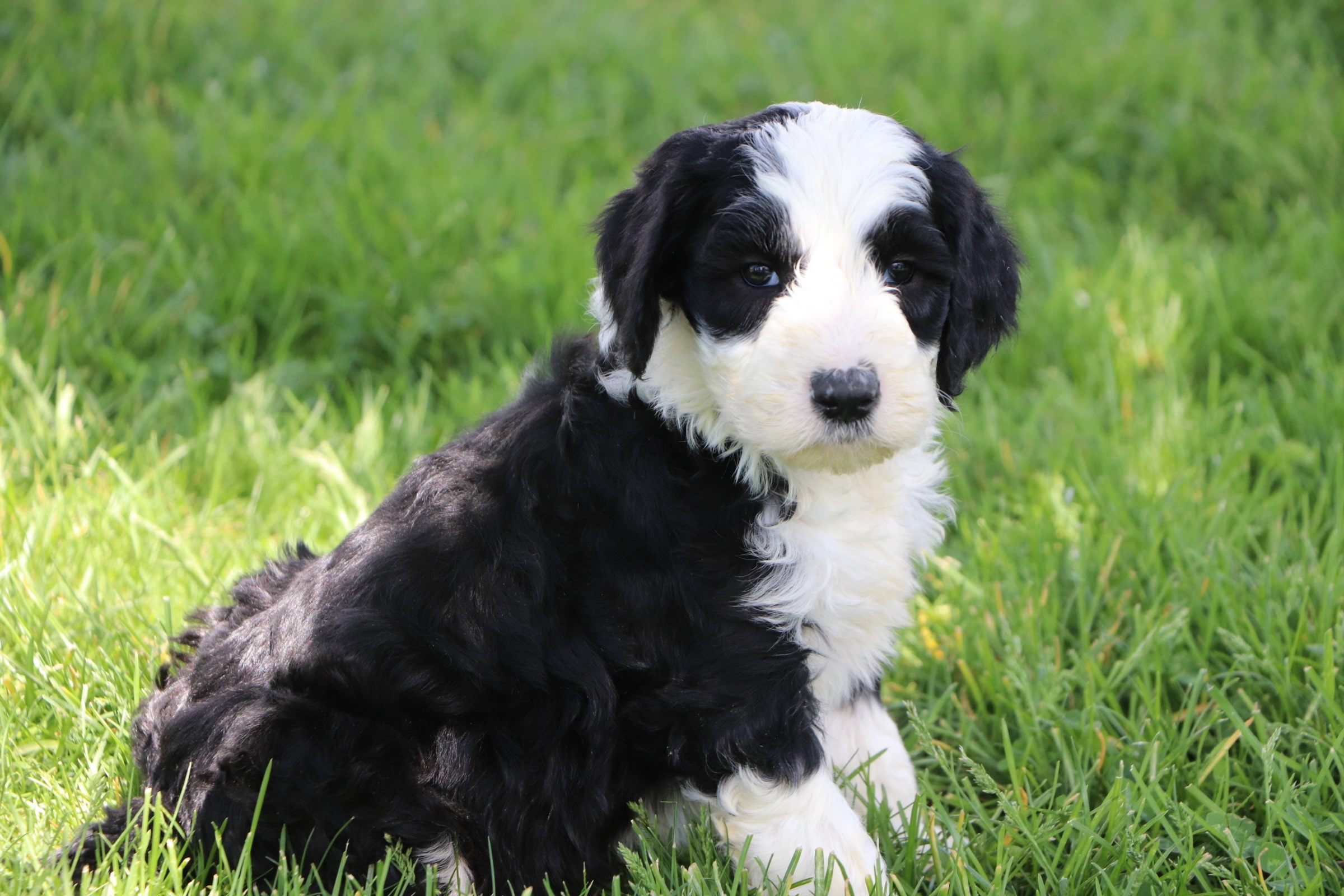 Lando Adorable Sheepadoodle Boy Puppy (5).jpg