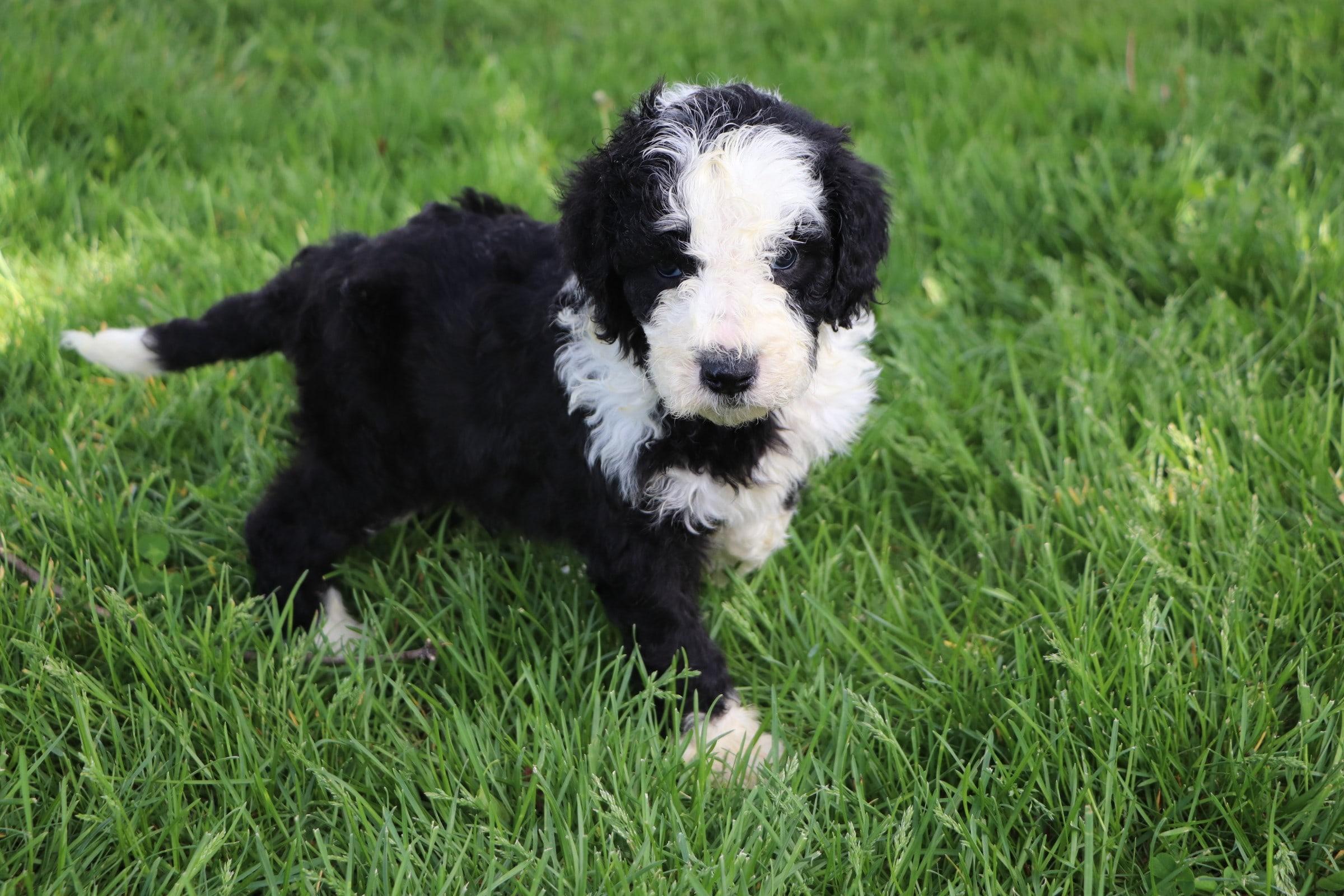 Leo Adorable Sheepadoodle Boy Puppy (3).jpg
