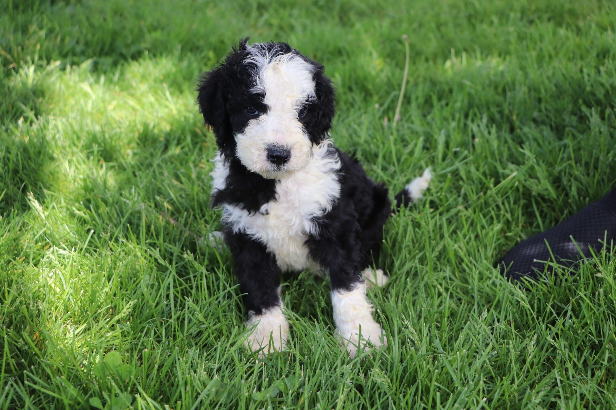 Leo Adorable Sheepadoodle Boy Puppy (4).jpg