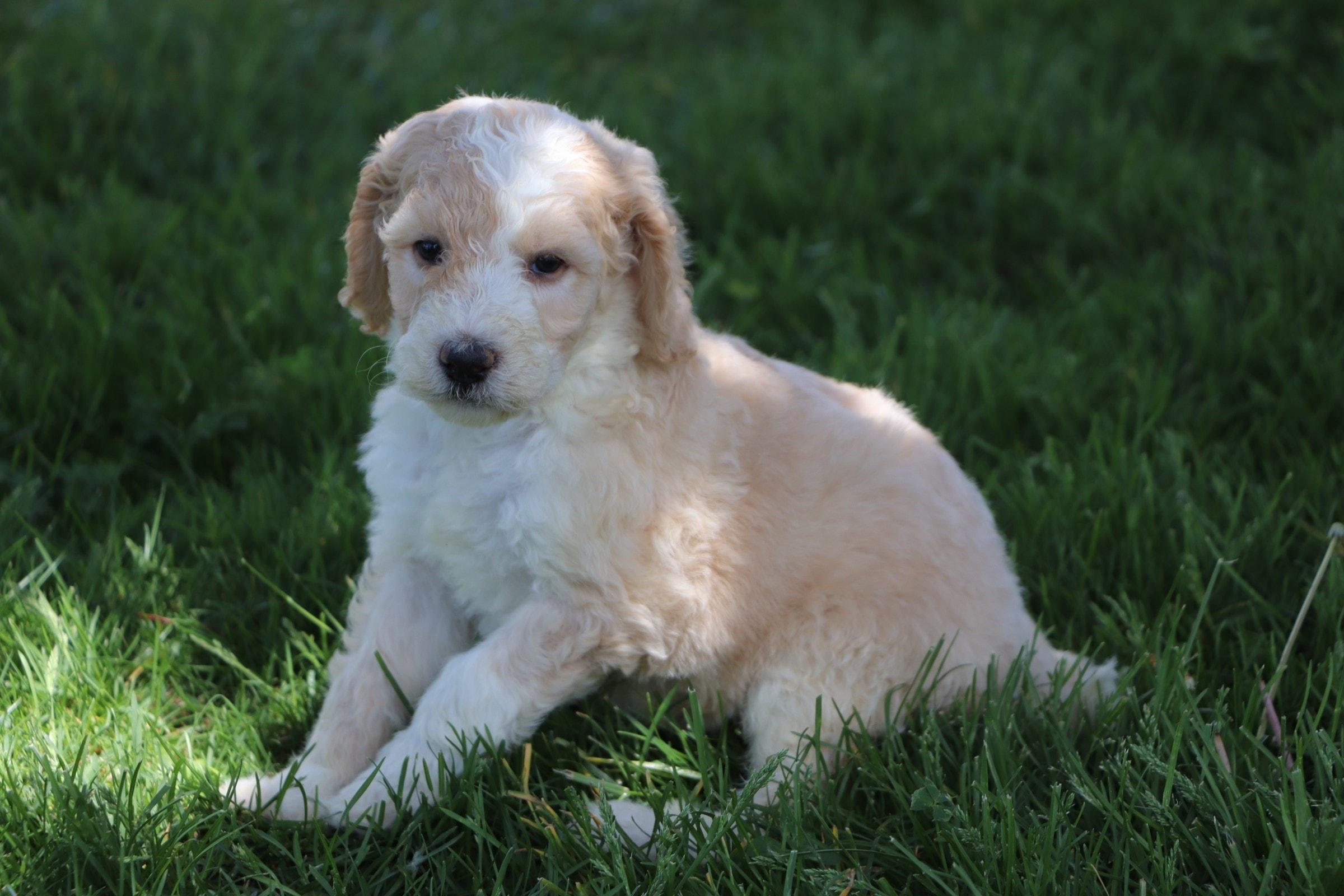Levi Adorable Sheepadoodle boy puppy (7).jpg