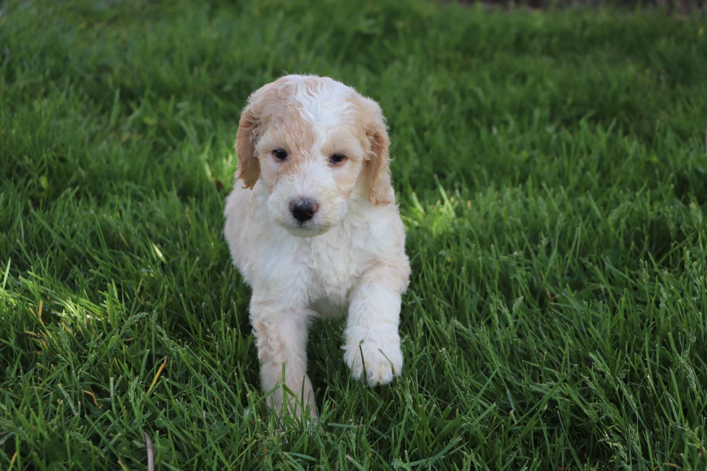 Levi Adorable Sheepadoodle boy puppy (6).jpg