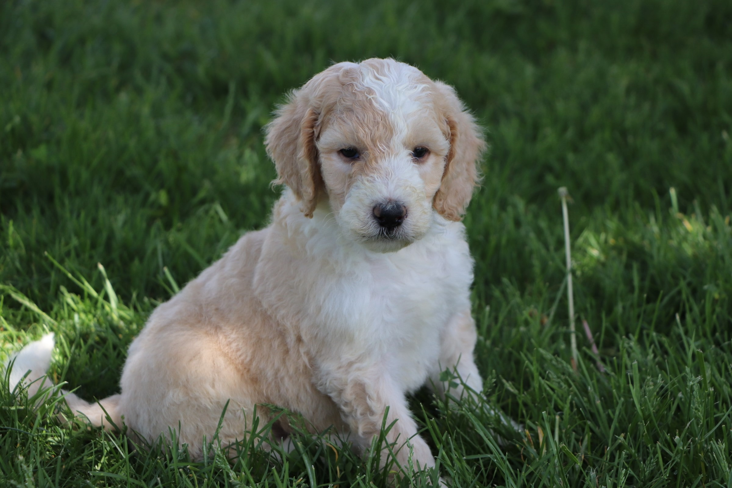 Levi Adorable Sheepadoodle boy puppy (5).jpg