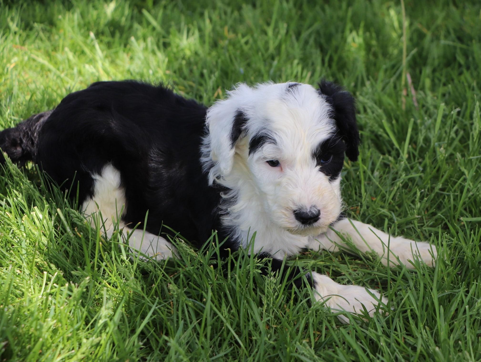 Luke Adorable Sheepadoodle Boy Puppy (2).jpg