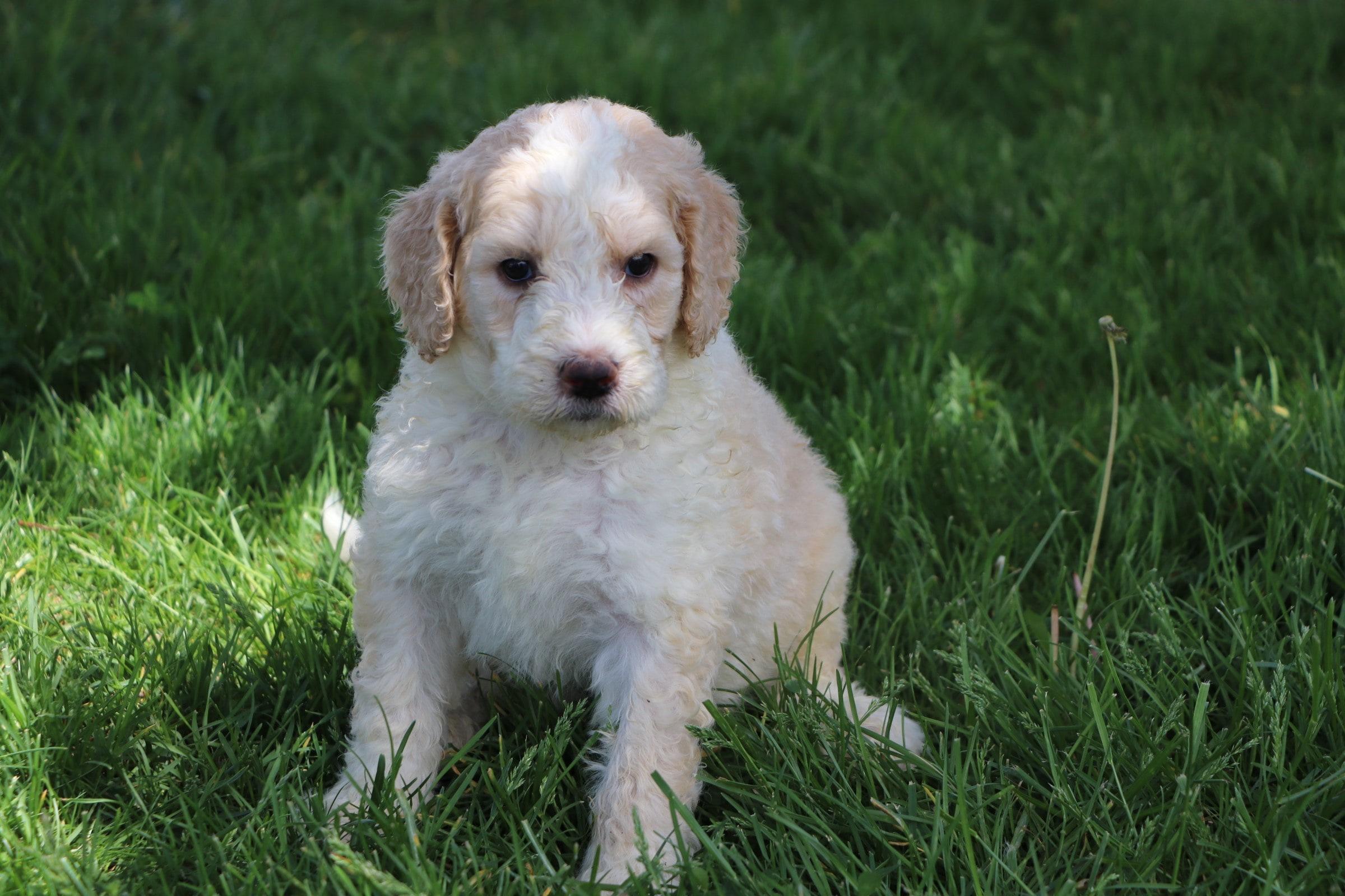 Liam Adorable Sheepadoodle Boy Puppy (2).jpg