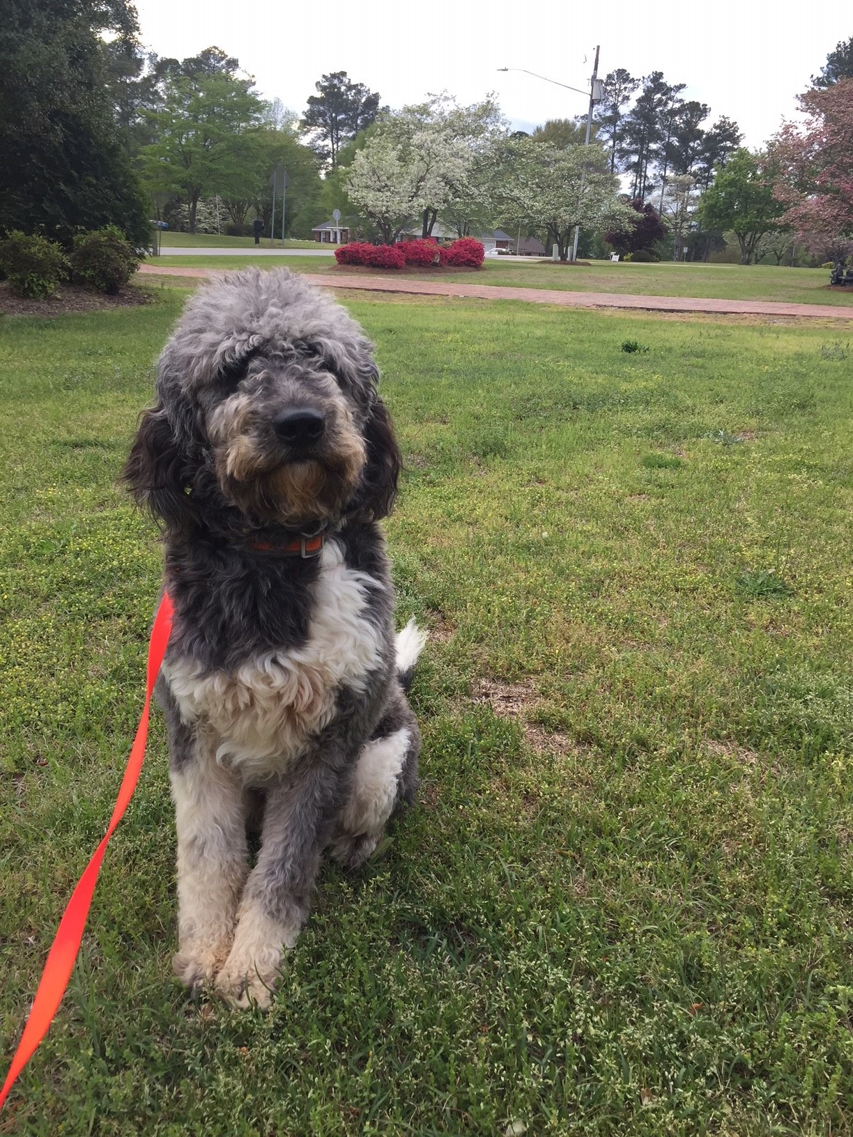 George, the one year old Newfiedoodle
