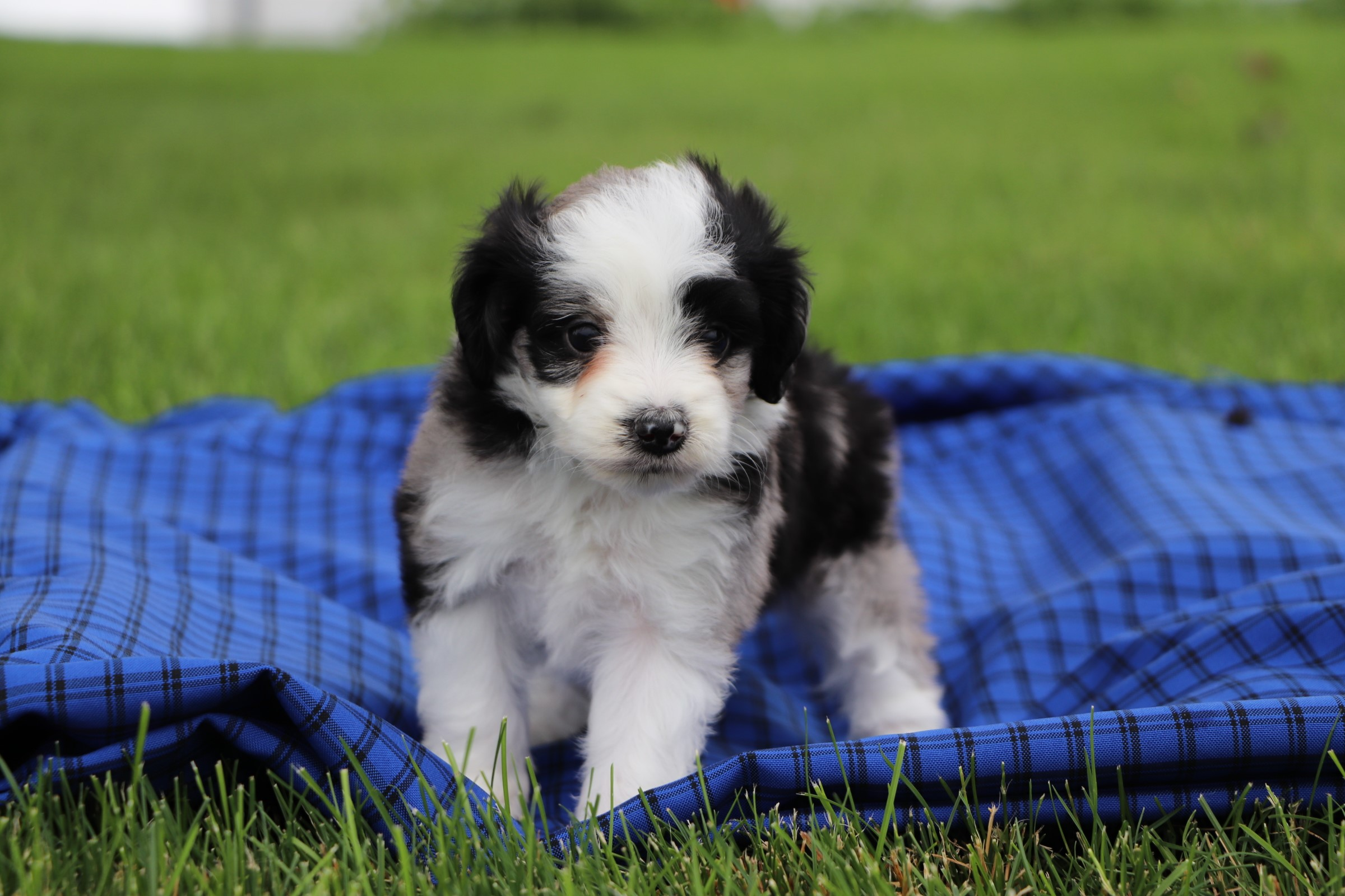 toy-Aussiedoodle-pup.jpg