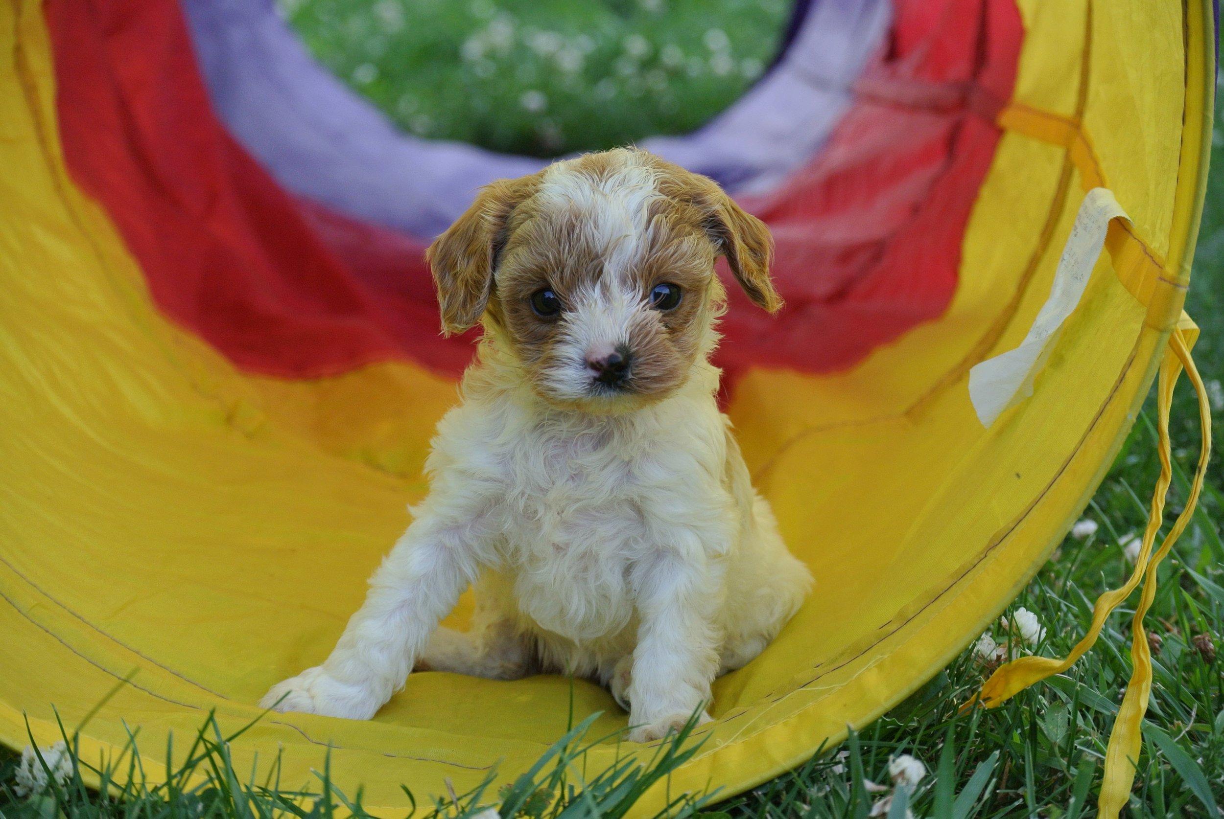 Hailey Adorable Cavapoo Puppy (4)-min.JPG