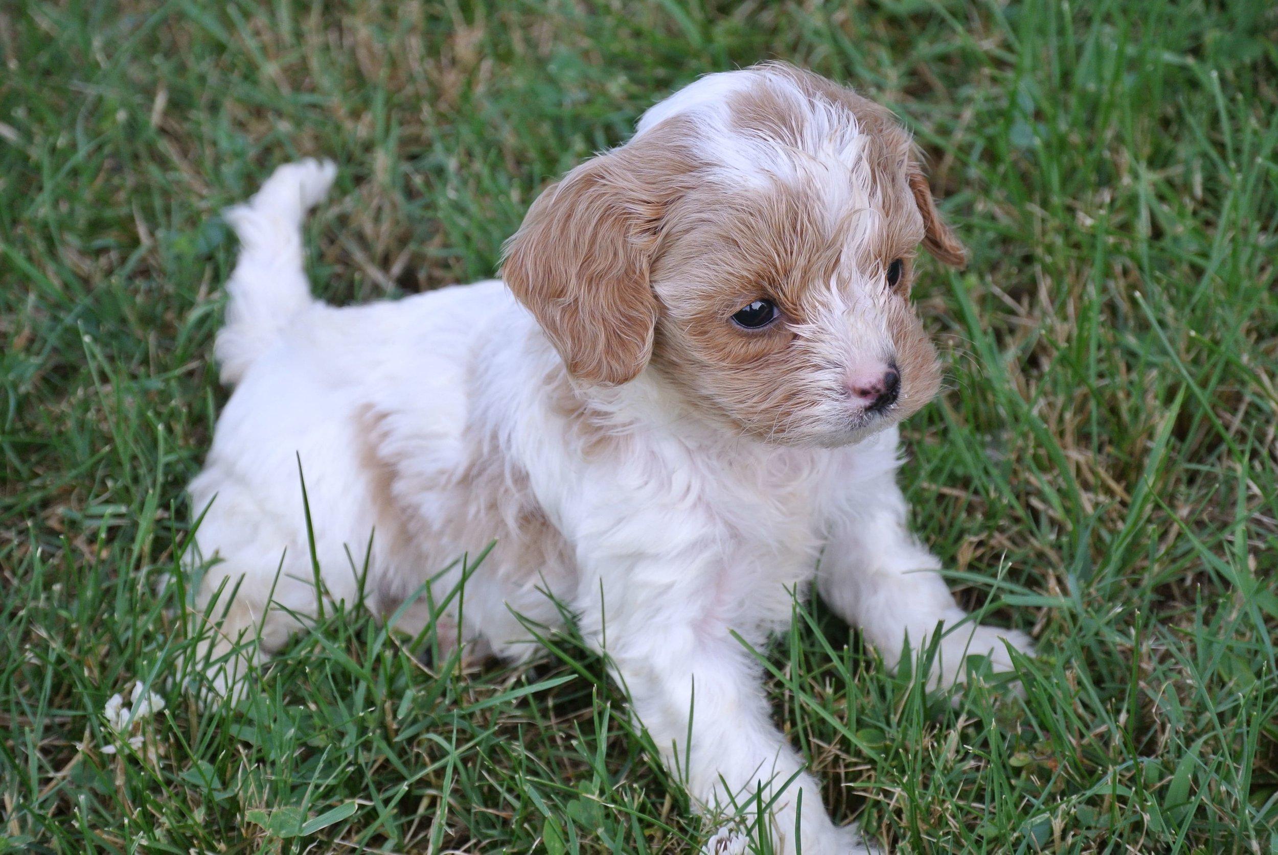 Hailey Adorable Cavapoo Puppy (3)-min.JPG