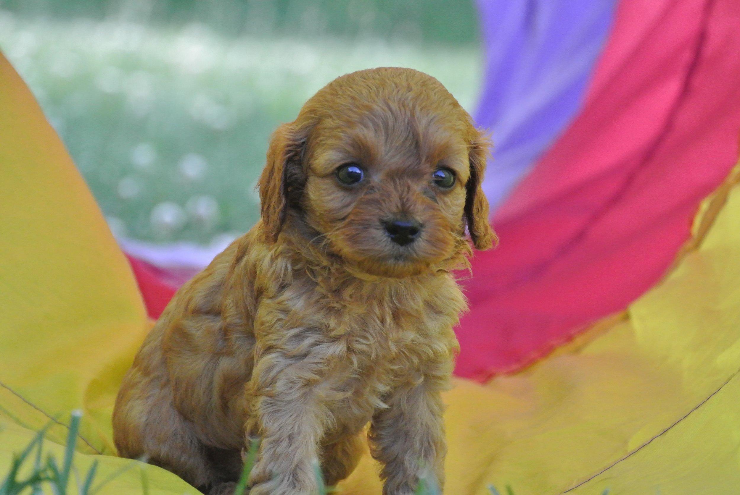 Hermione Adorable Cavapoo Puppy (4)-min.JPG