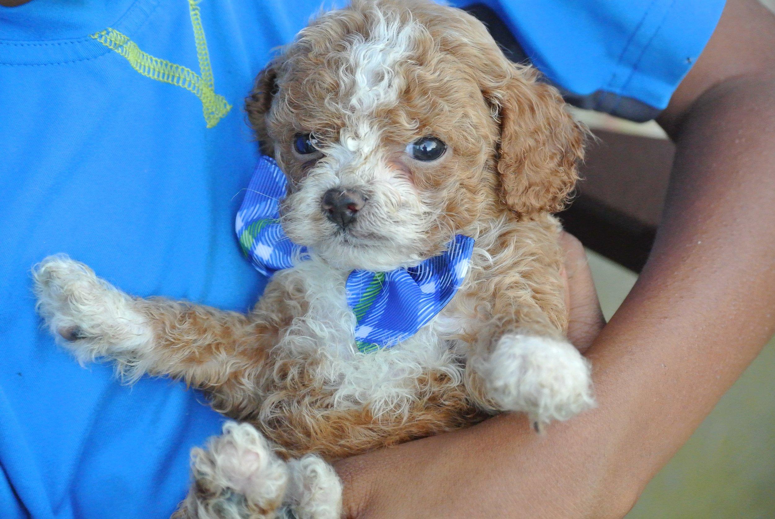 Harrison Adorable Cavapoo Puppy (2)-min.JPG