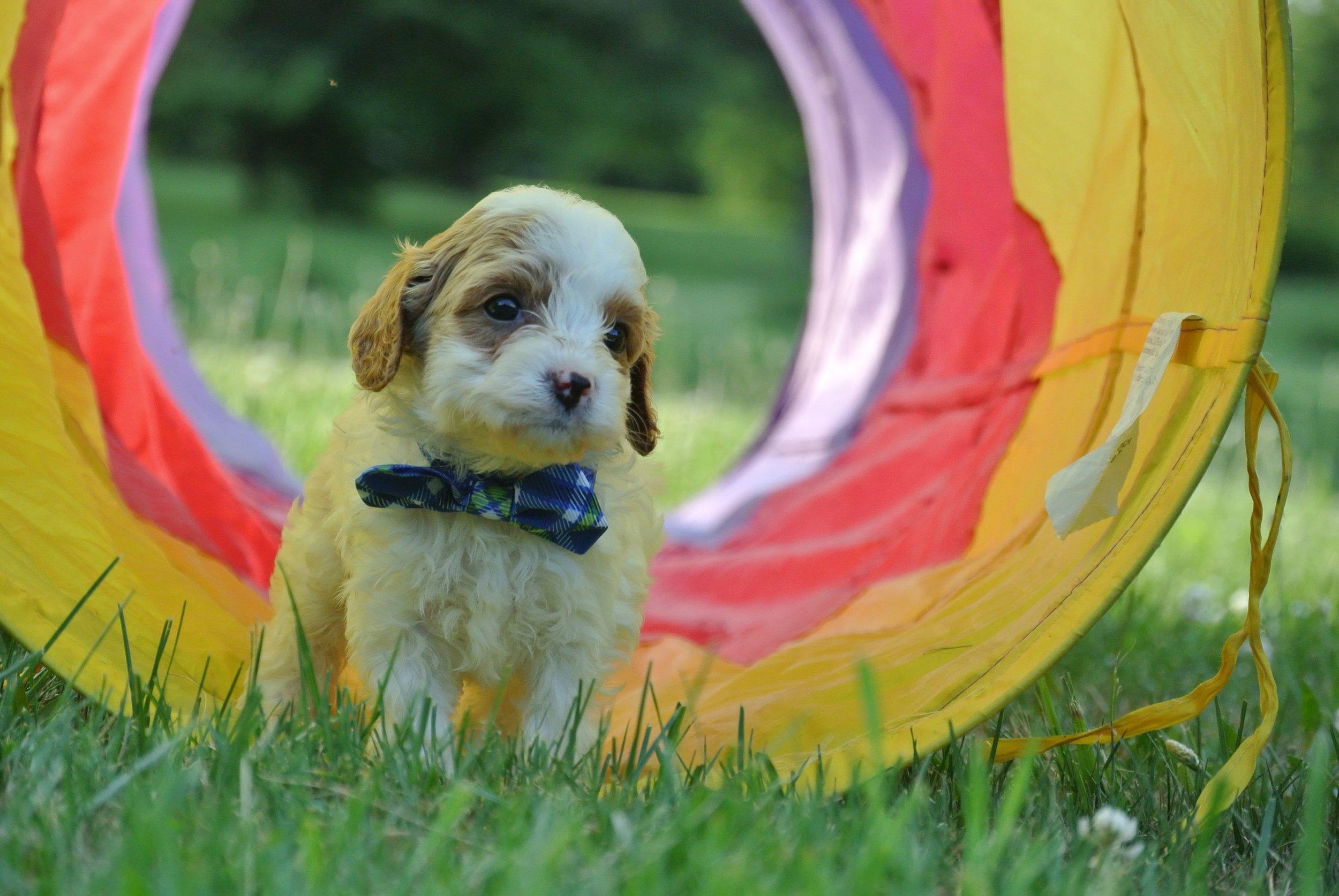 Hudson Adorable Cavapoo Puppy (4)-min.JPG