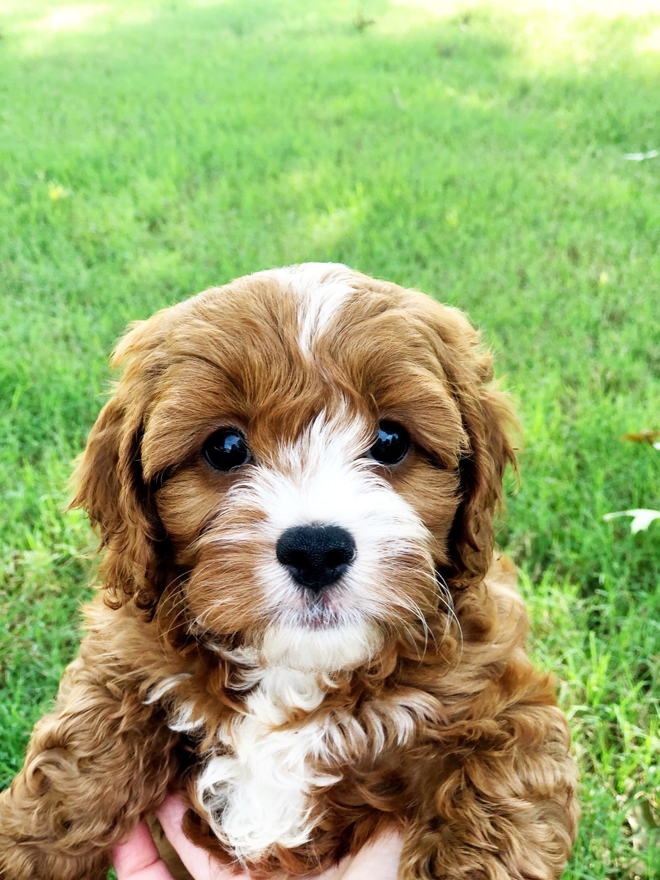 cute-cavapoo-puppy