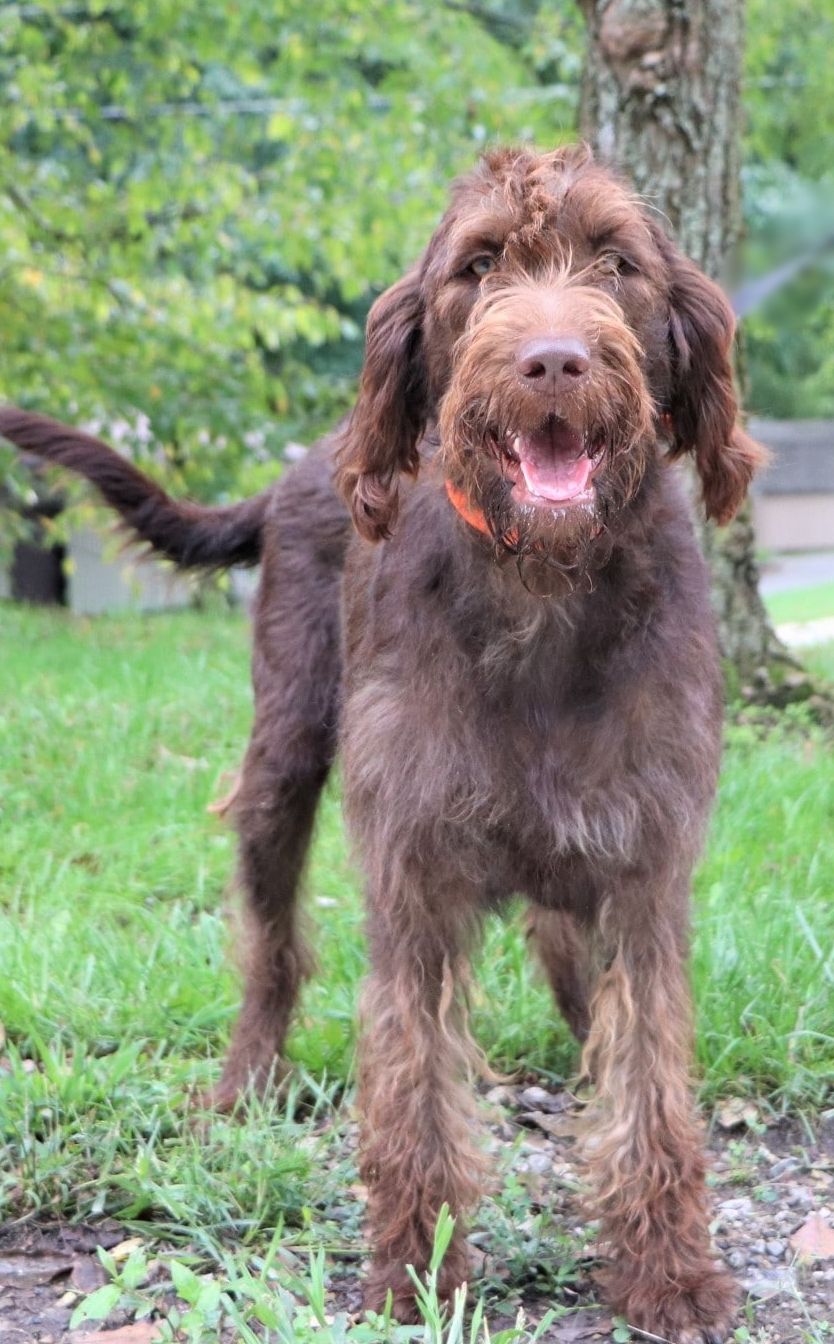 Misty, the Chocolate Labradoodle mom