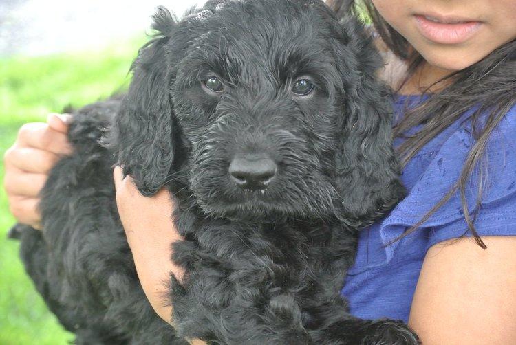Black Irishdoodle