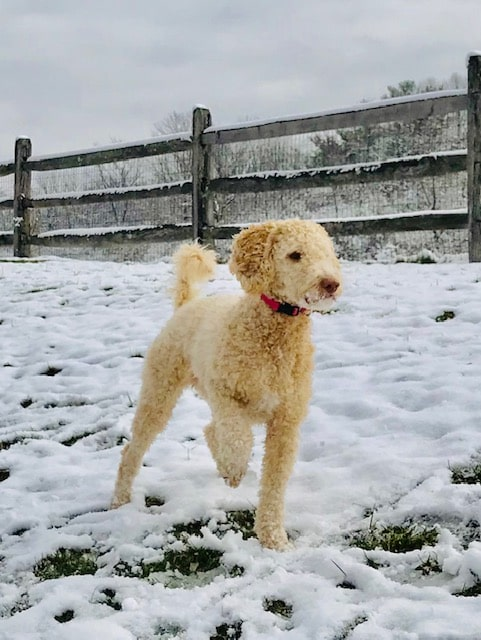 Ginger, 27 pound f1b Goldendoodle Mom, enjoying a very rare SC snow