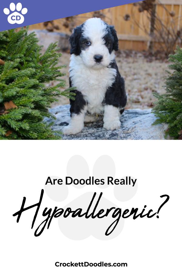 Hypoallergenic-dog-breeds-doodles.jpg