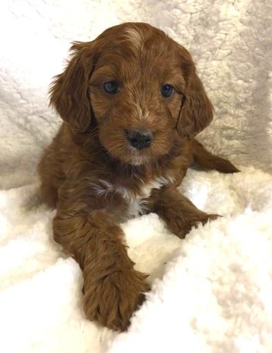 Irishdoodle Puppy