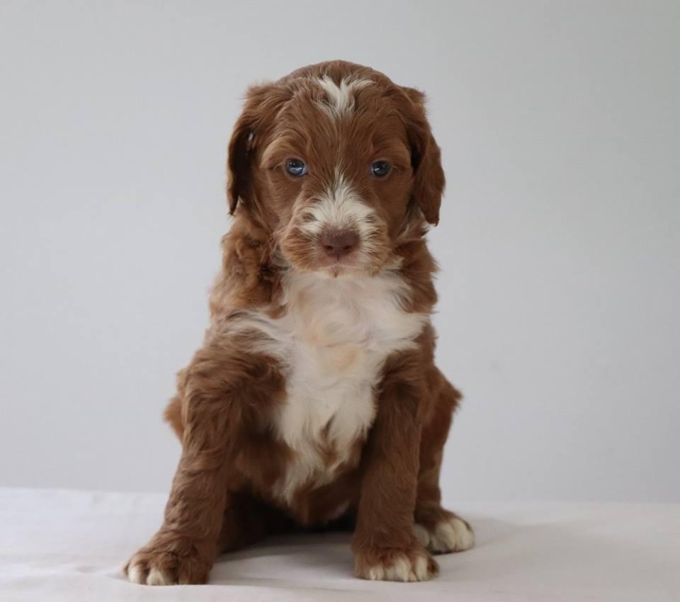 Labradoodle Puppies Characteristics Pictures Advantages