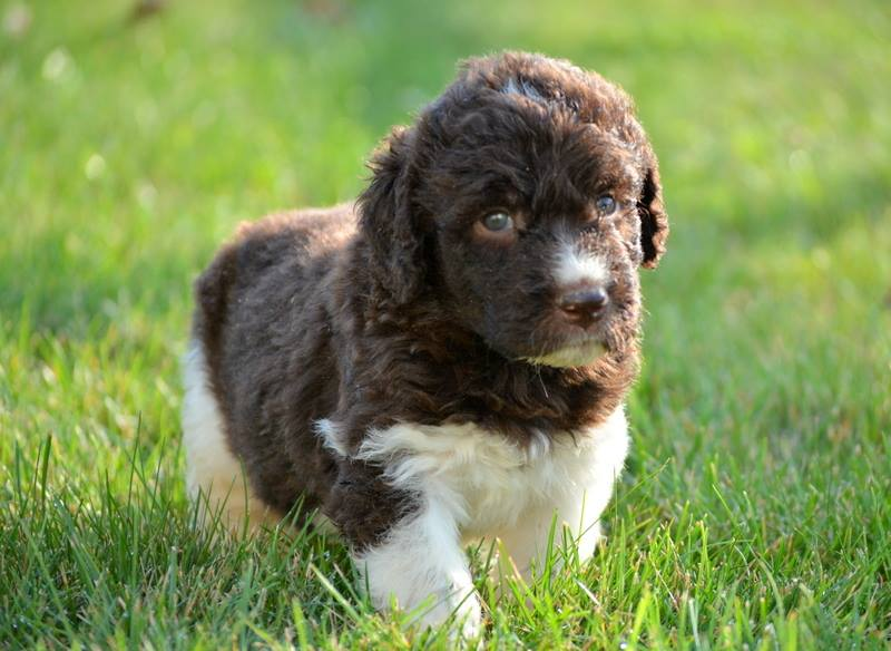 Newfiedoodle puppies - characteristics, pictures, advantages
