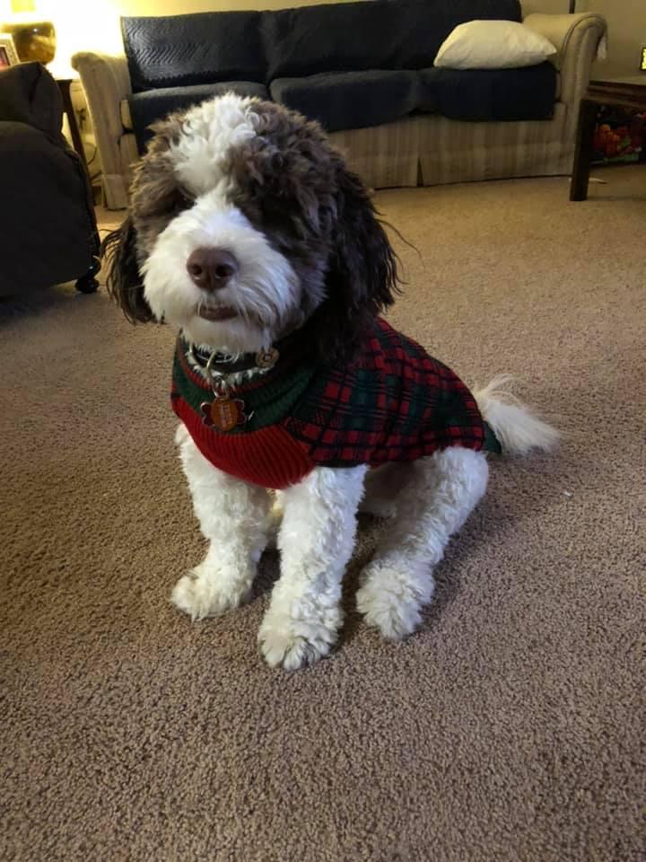 Springerdoodle puppies - characteristics, pictures, advantages, colors