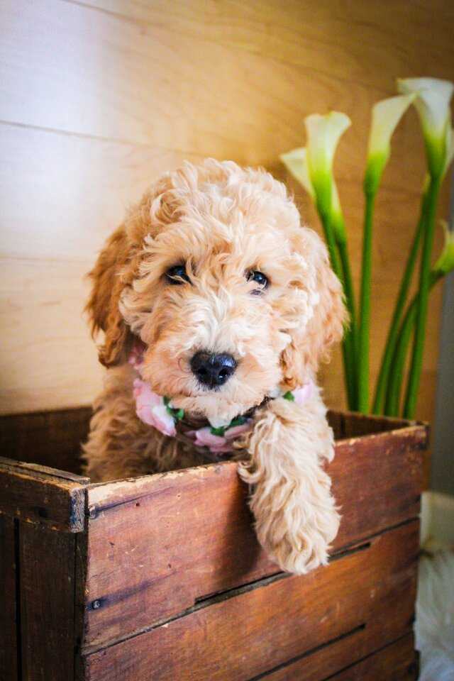 Star-mini-goldendoodle-girl.jpeg