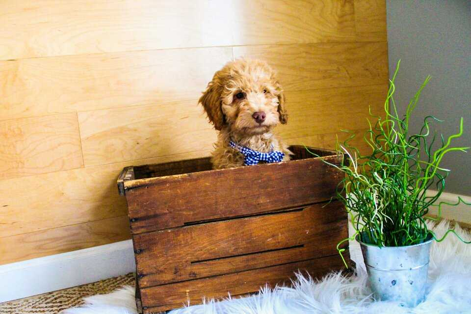 male-mini-goldendoodle2.jpeg