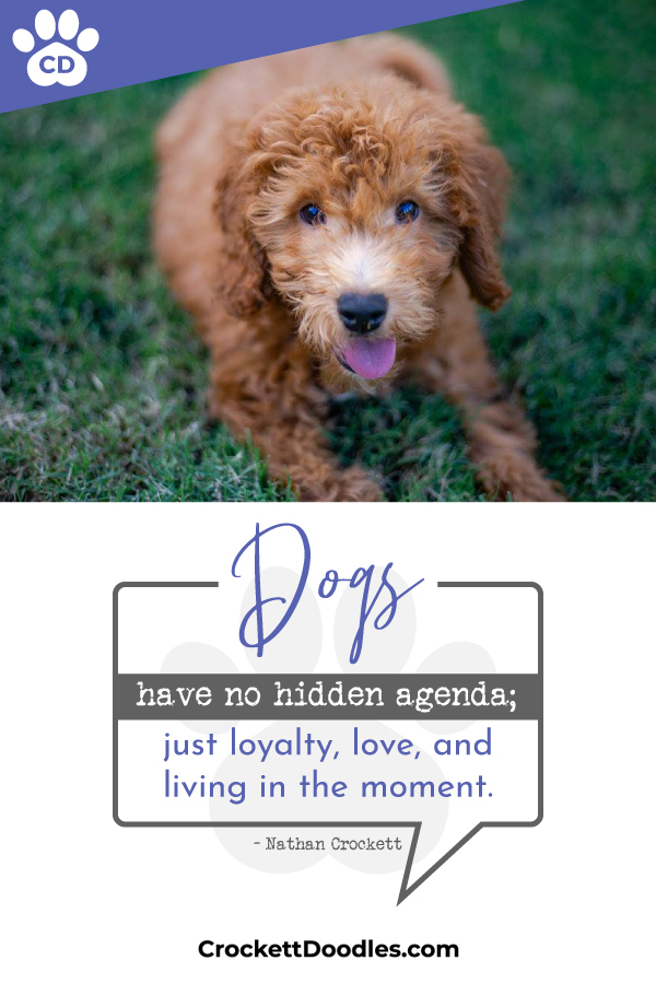 Crockett Doodles - Family Raised Doodle Puppies for Sale
