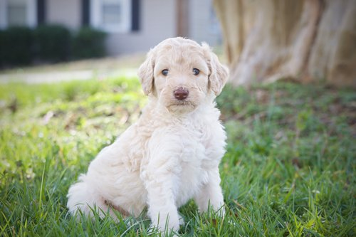 Name this Labradoodle for the chance at $100