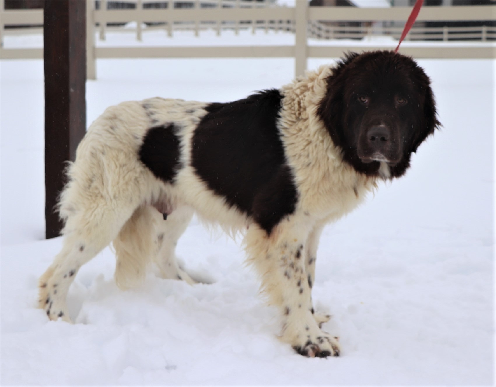 O'hanna, the Newfoundland mom