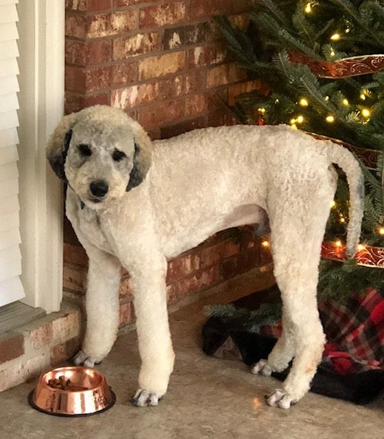 Winston, Standard Poodle Dad