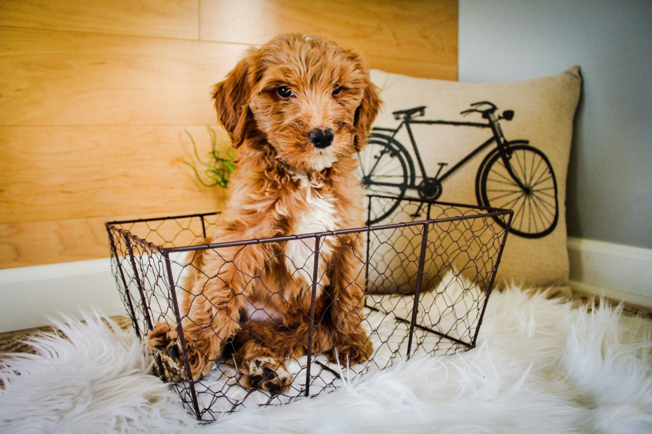 mini Goldendoodle (12).jpg