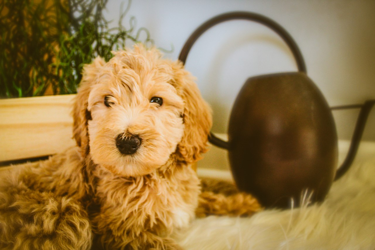 mini Goldendoodle (17).jpg