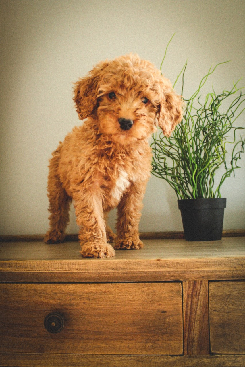 mini Goldendoodle (19).jpg