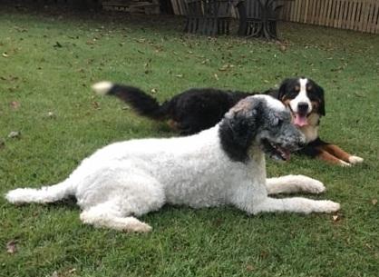 Kara (standard Poodle mom) and Nova (BMD dad)