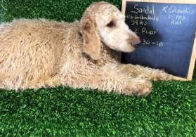 Sandal, mini Goldendoodle Mom