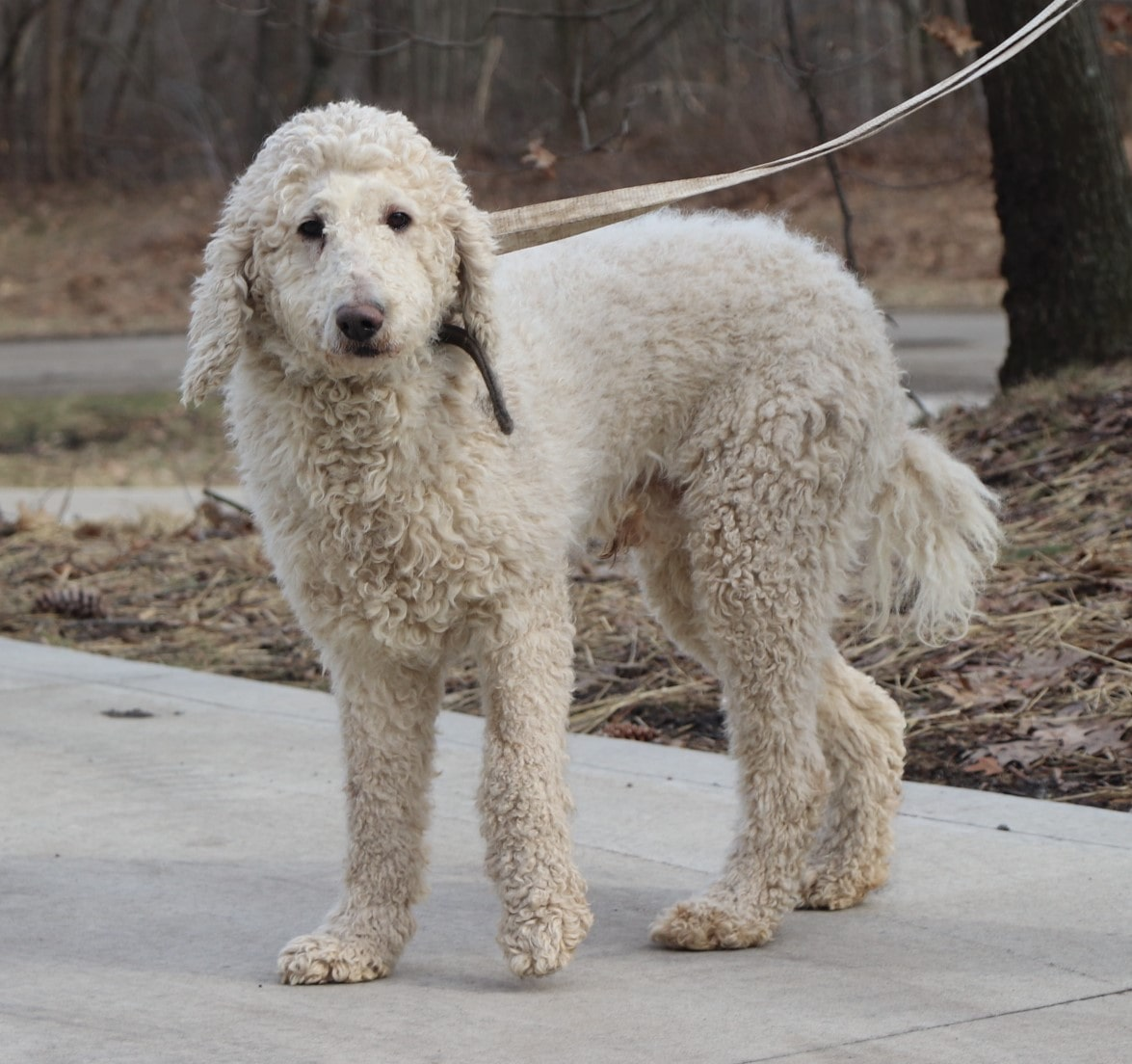 Sparky, the Standard Poodle dad