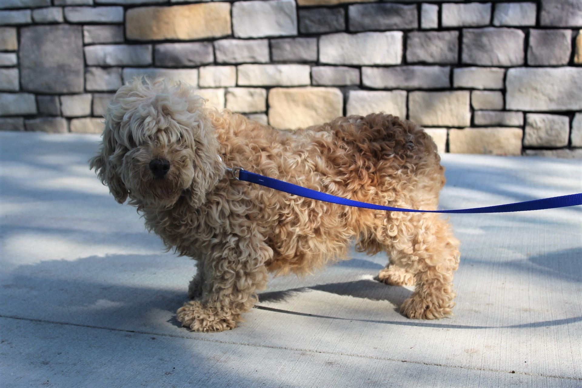 The Goldendoodle mom