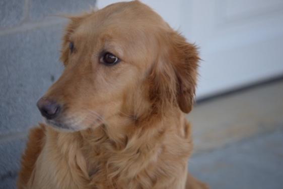 Frisky, the Golden Retriever mom