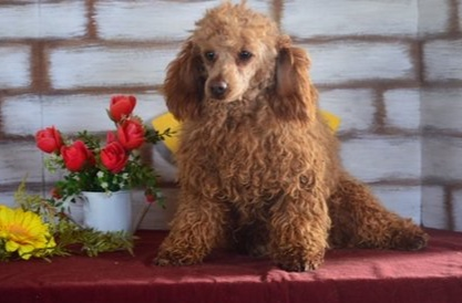 Rover, the mini Poodle dad