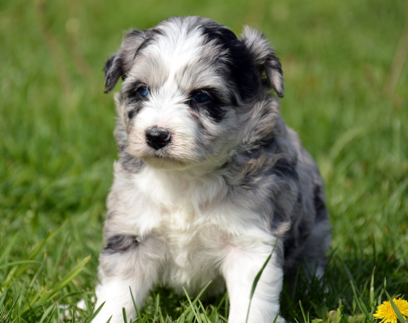 Name this Aussiedoodle girl to be entered for the $100 drawing