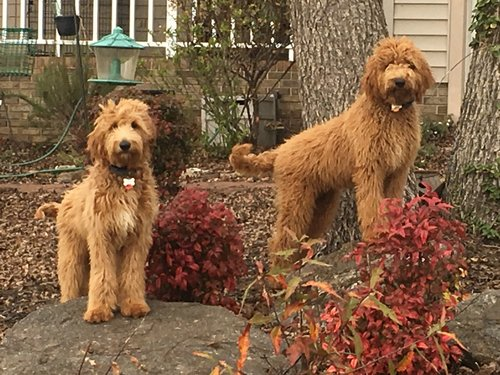 Chloe, the Labradoodle mom (on the right)