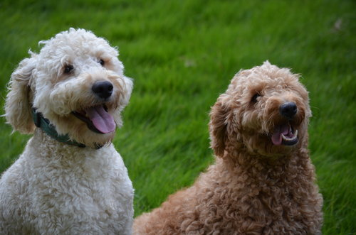 Tucker, mini Goldendoodle dad (on the left)