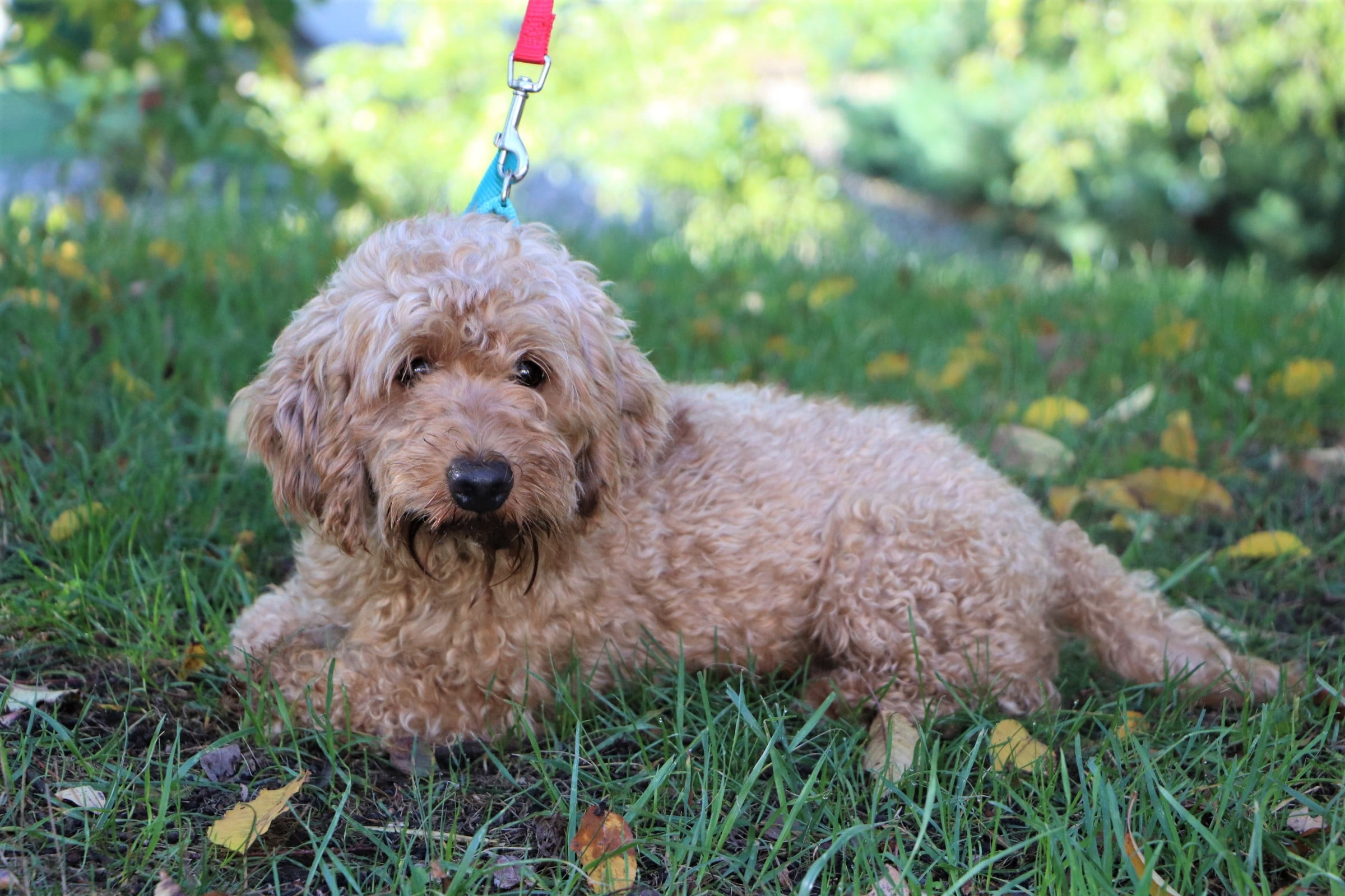 The Goldendoodle dad