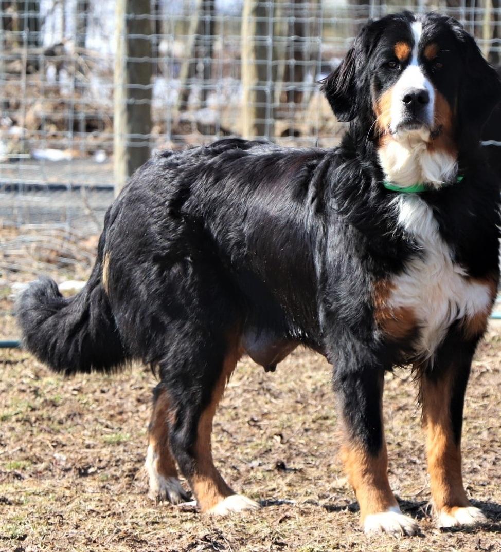 Misty, the Bernese Mountain Dog mom