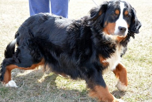 The Bernese Mountain Dog mom