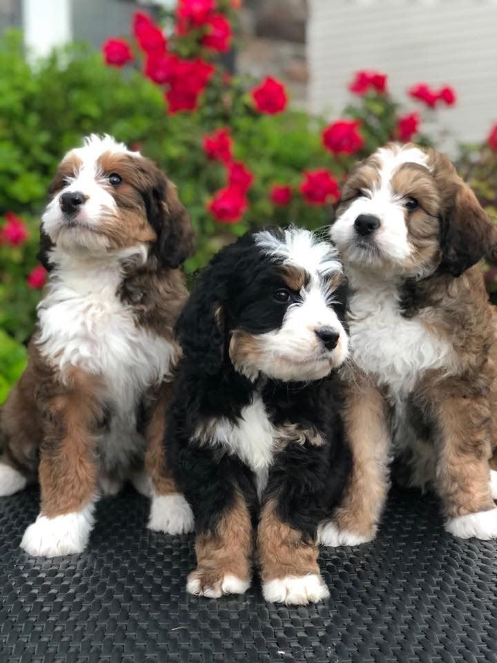 2 Red Tri and 1 Black Tri Bernedoodles