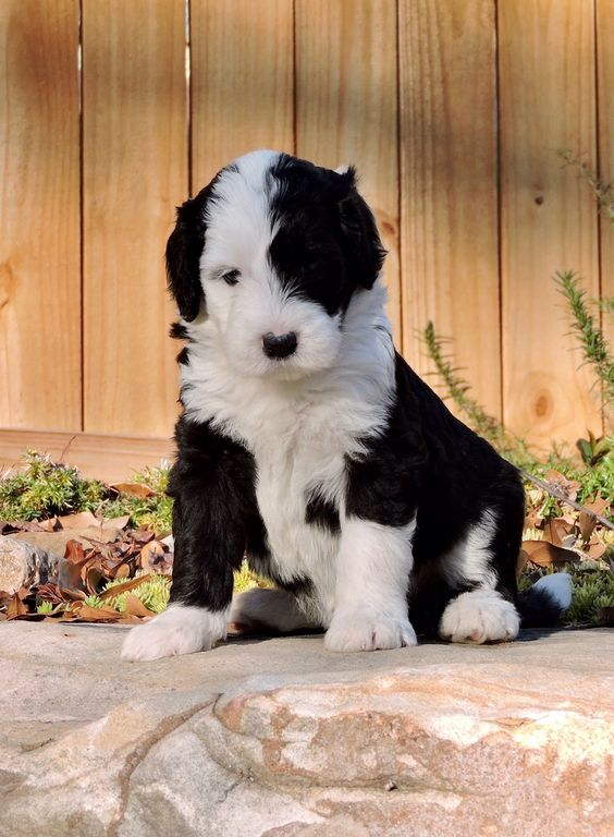 Black and White Sheepadoodle from Crockett Doodles