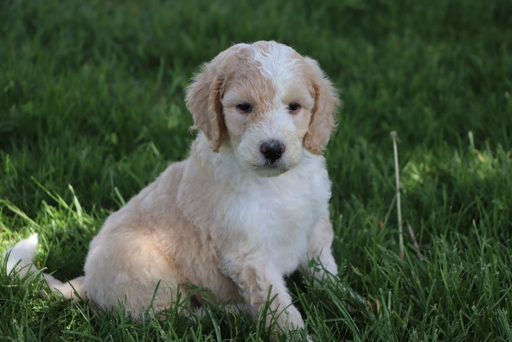 Red and White Sheepadoodle